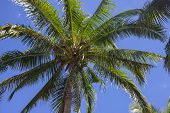 Coco Palm Tree Top On Blue Sky Background. Beautiful Tropical Landscape Photo. Exotic Place For Vaca poster