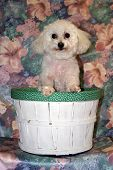 Fifi a Bichon Frise smiles while in her basket poster