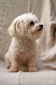 Fifi a Bichon Frise Dog sits and poses against a white sheet background poster