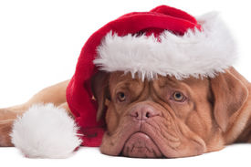 foto of santa claus hat  - Lying Dogue de bordeaux with red Santa hat - JPG