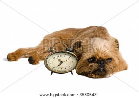 Griffon Bruxellois with retro alarm-clock, isolated on white