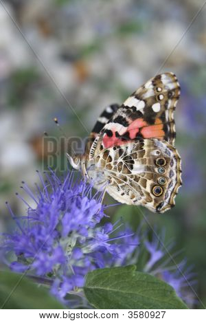 Painted Lady Underwings I