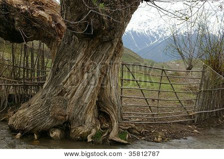 Old Tree, Tajikistan