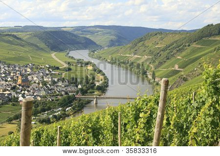 Riesling Vineyard On Mosel