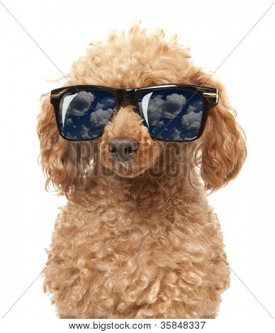 Red Toy Poodle  in the sunglass