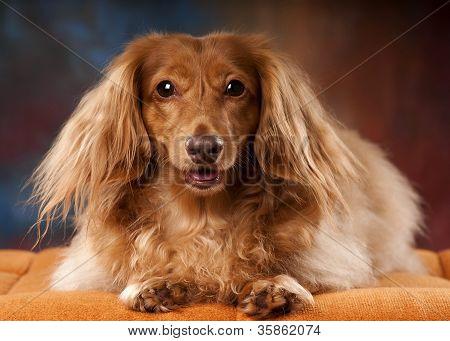Taco a red dachshund