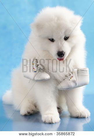 Постер, плакат: Щенок самодийский собаки и обувь, холст на подрамнике