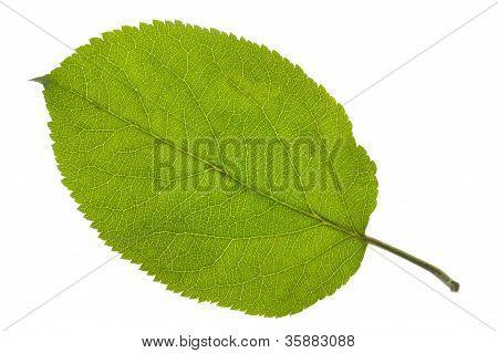leaf of apple tree
