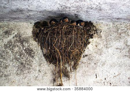 Swallow's Nest In A Barn