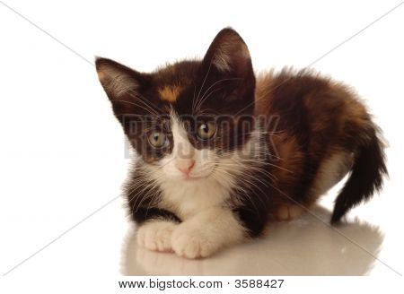 Calico Kitten Lying Down