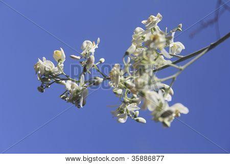 Flowers of Drumsticks