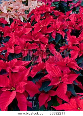 Many Poinsettia Plants