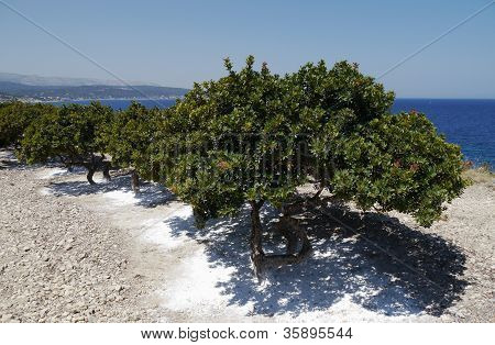 mastic grove on chios