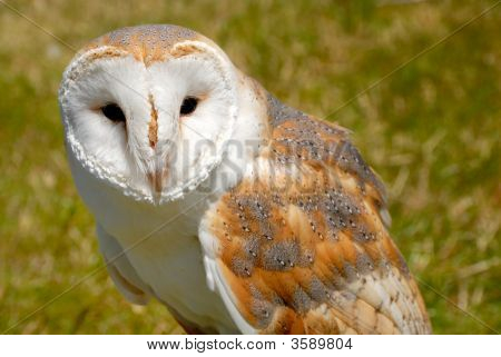 Close Up Of Barn Owl, Tytonidae