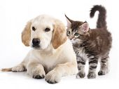 picture of cat-tail  - Labrador puppy and kitten breeds Maine Coon - JPG