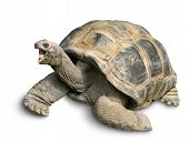 Happy Giant Tortoise On White