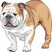 picture of english-mastiff  - COLOR sketch of the dog English Bulldog breed - JPG