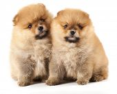 stock photo of miniature pomeranian spitz puppy  - miniature pomeranian spitz puppy - JPG