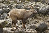 Alpine Ibex In Stony Back