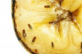 stock photo of decomposition  - Macro of common fruit flies  - JPG