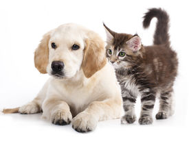 stock photo of coon dog  - Labrador puppy and kitten breeds Maine Coon - JPG