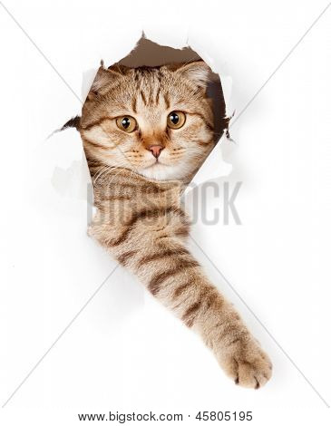 cat in white wallpaper hole
