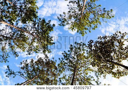 Pine Forest Under Blue Sky And Cloud In National Park