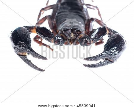 Scorpion (Heterometrus) isolated on white. No shadow