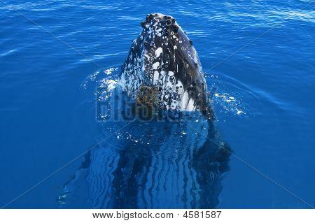 Humpack Whale Spy Hopping