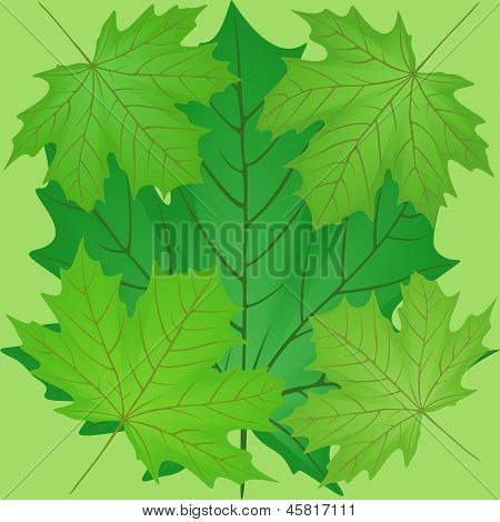 Green Leaves Of The Maple.