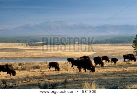 Bison In Yellowstone Park