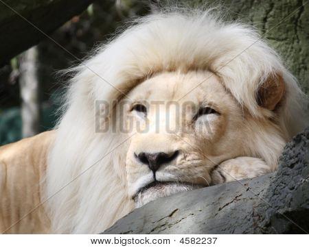 Resting White Lion