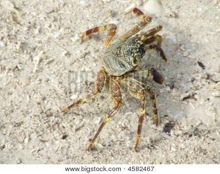 Maldivian Crab