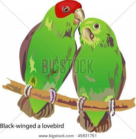 black-winged a lovebird