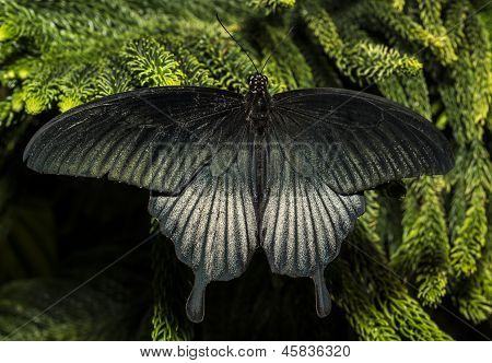 The Great Mormon (papilio Memnon)