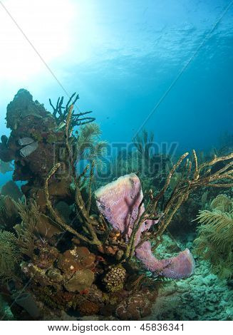 Azure Vase Sponge, Callyspongia Plicifera