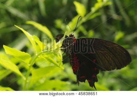 Black & Red Butterfly