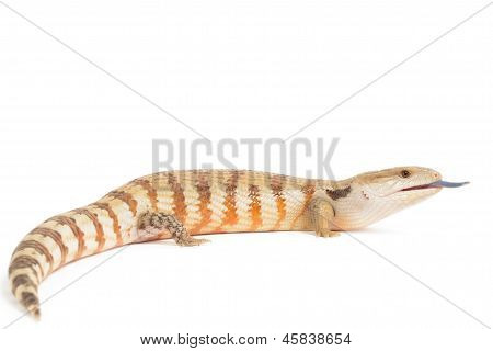 Blue Tongued Skink