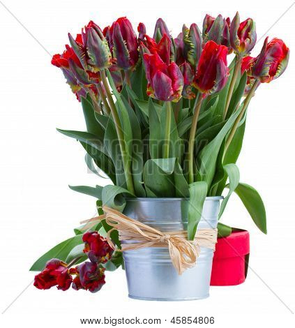 spring tulip flowers in pot with gift box