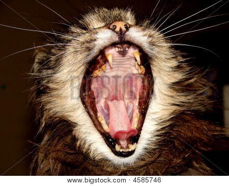 Gato com boca aberta