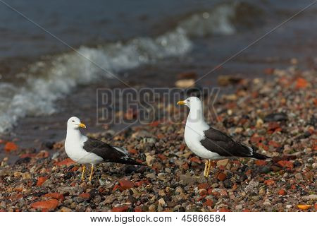 Family Of Seagulls
