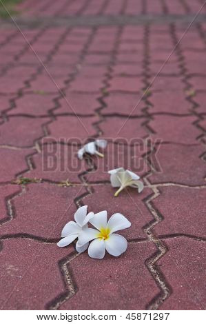 Withe Plumeria Flowers on Public roads,Thai.