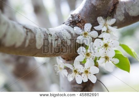 Dogwood Tree  With White Flowers.
