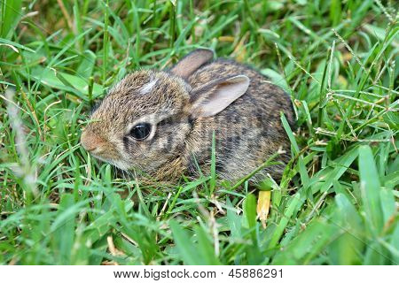 Baby Eastern Cottontail Bunny