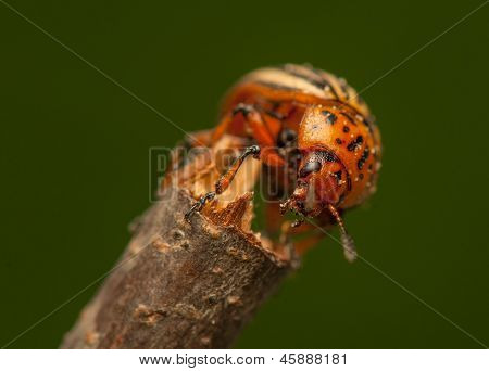 Rootworm