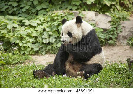 Giant Panda - Ailuropoda melanole at the Beijing Zoo