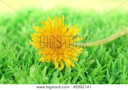 Dandelion flowers on grass close-up