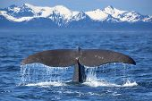 stock photo of lofoten  - The tail of a Sperm Whale diving - JPG