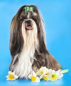 picture of dog breed shih-tzu  - Dog of breed shih - JPG
