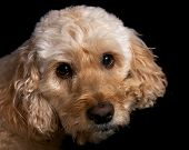 picture of cockapoo  - a portrait shot of a spoodle a cross between a spaniel and poodle - JPG